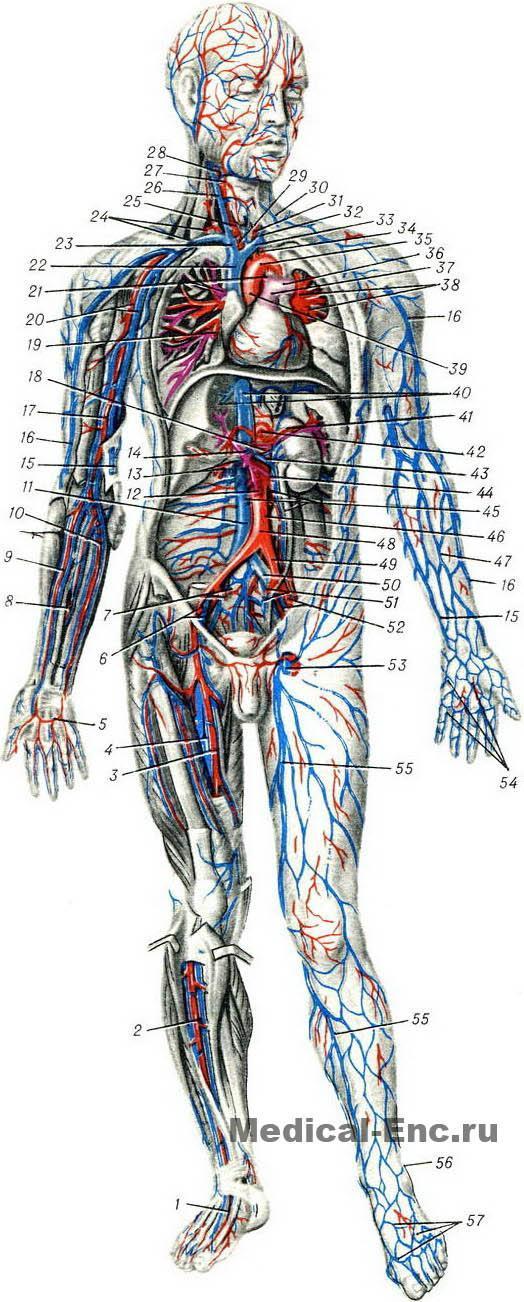 1 — тыльная артерия стопы;