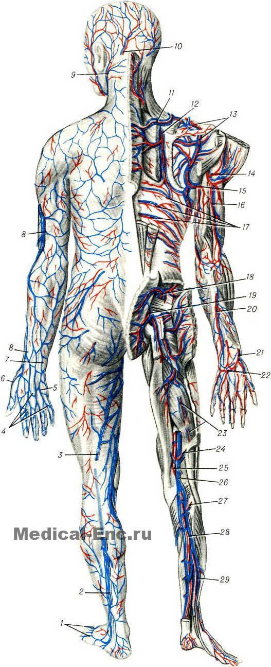 http://www.medical-enc.ru/10/blood_vesse...gram.shtml.  Кровеносные сосуды человека на сайте Медицинской энциклопедии...