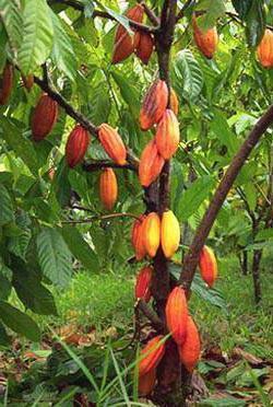 ...получаемый путем обработки семян (бобов) тропического дерева какао.
