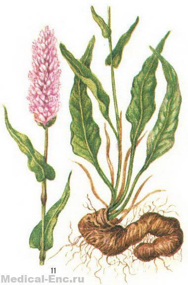 Горец змеиный, змеевик (справа - нижняя часть растения с корневищем)