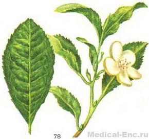 Рис 78 чайный куст слева — лист