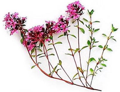 Тимьян ползучий, чабрец (Thymus serpyllum L., s. l.), тимьян ...