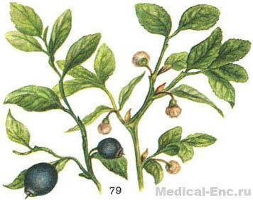 Черника растение