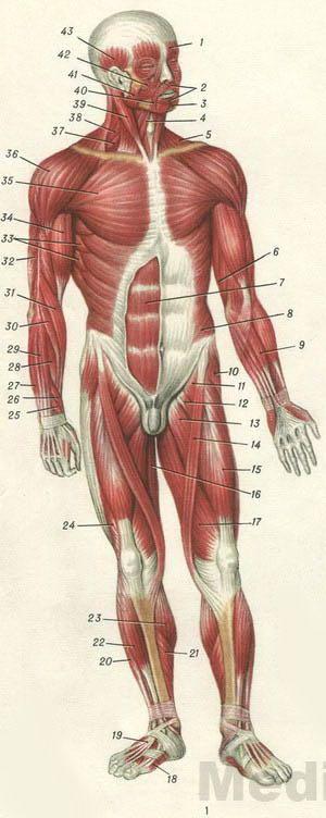 Мышцы человека (схема)
