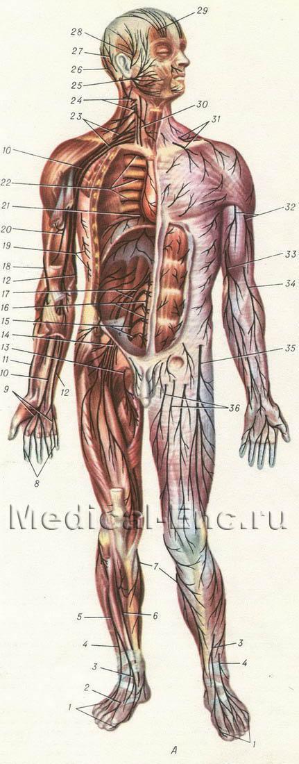 нервы человека схема