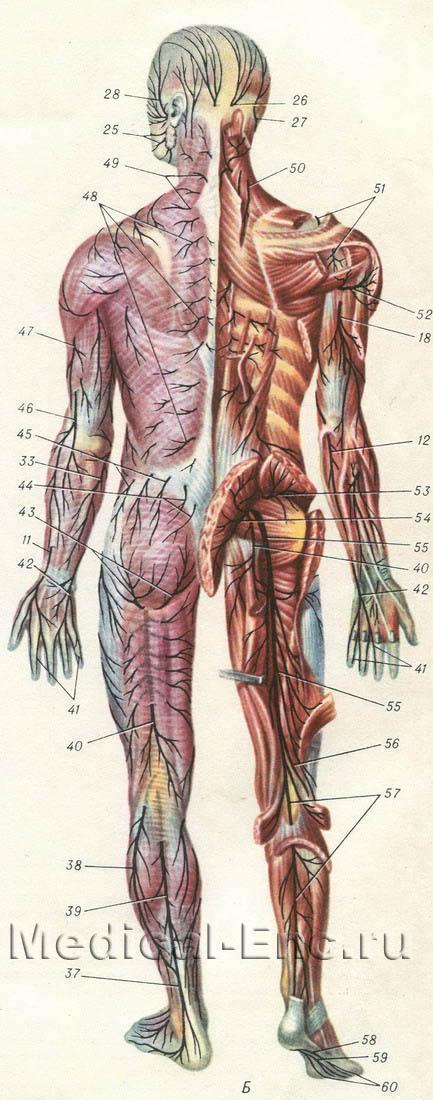 нервы человека