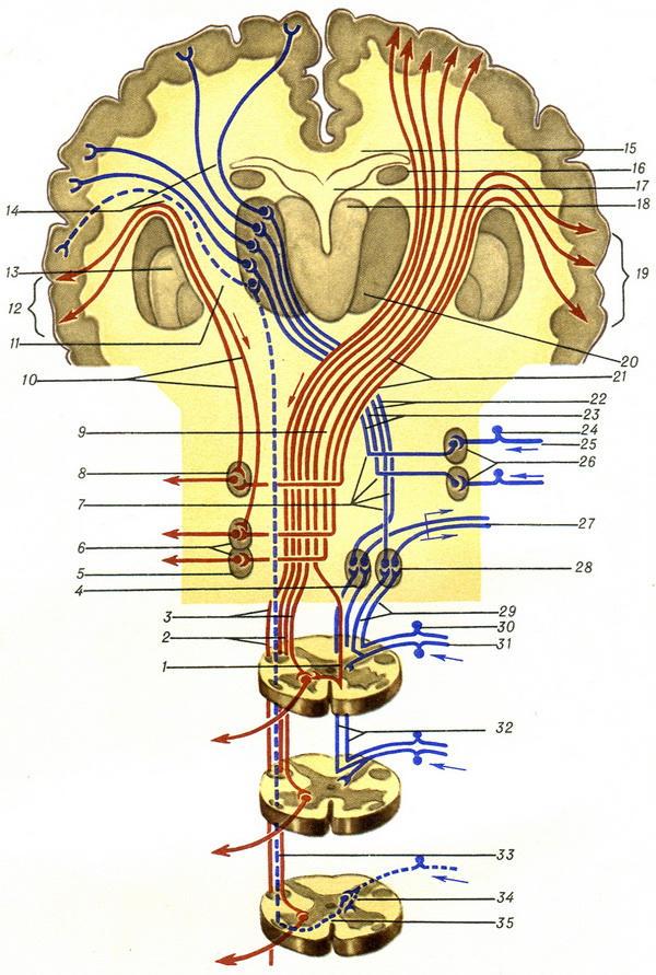 Переход I шейного сегмента в