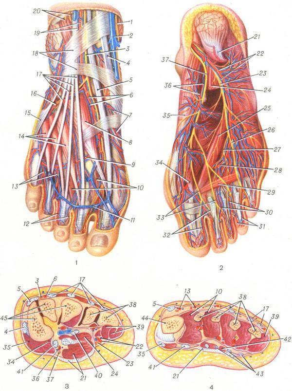 Сосуды и нервы стопы. Рис. 1.