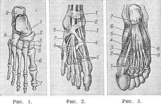 Стопа человека строение кости