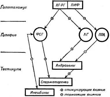 Временной цикл развития