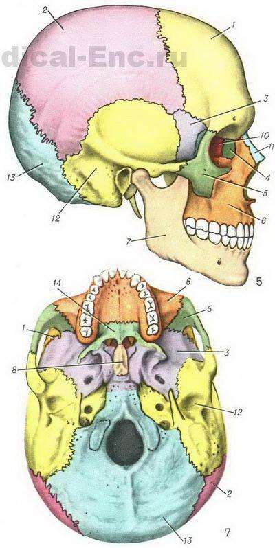 Атлас анатомии в картинках череп