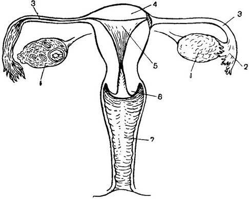 схема женских половых органов