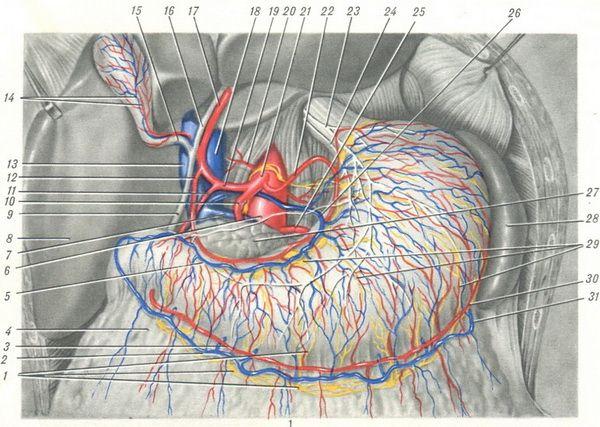 кровеносные сосуды желудка