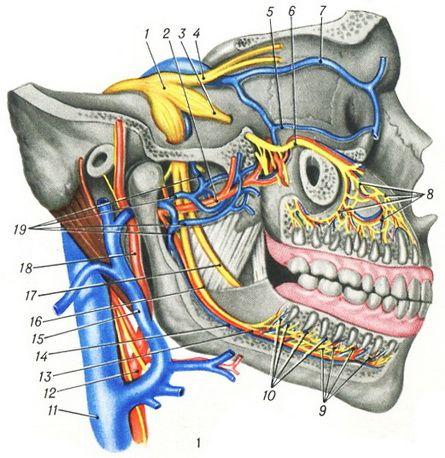 и иннервация зубов: