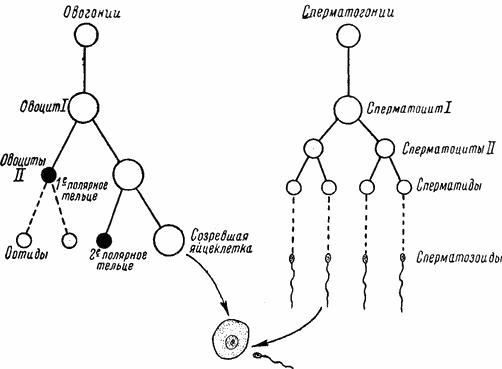 Процесс созревания и формирования сперматозоида