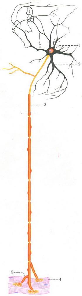 схема строения нервной