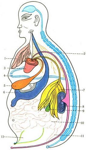 Анатомическая схема человека