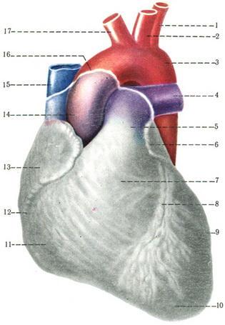 сердце и крупные сосуды схема