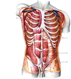 Анатомия человека (строение внутренних органов в картинках)
