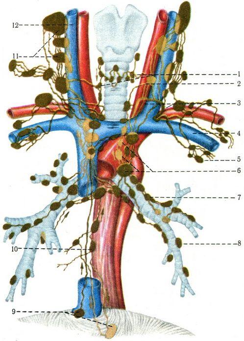 лимфатических узлов шеи и