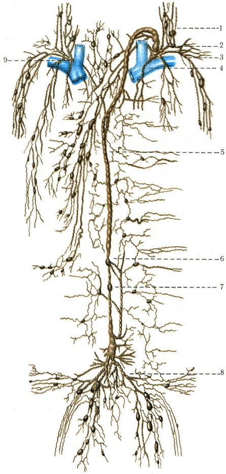 Схема лимфатической системы.