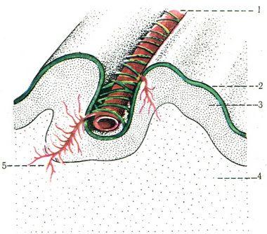 507. Схема расположения кровеносного сосуда в извилинах мозга.  1 - артерия; 2 - сосудистая оболочка; 3 - кора; 4...