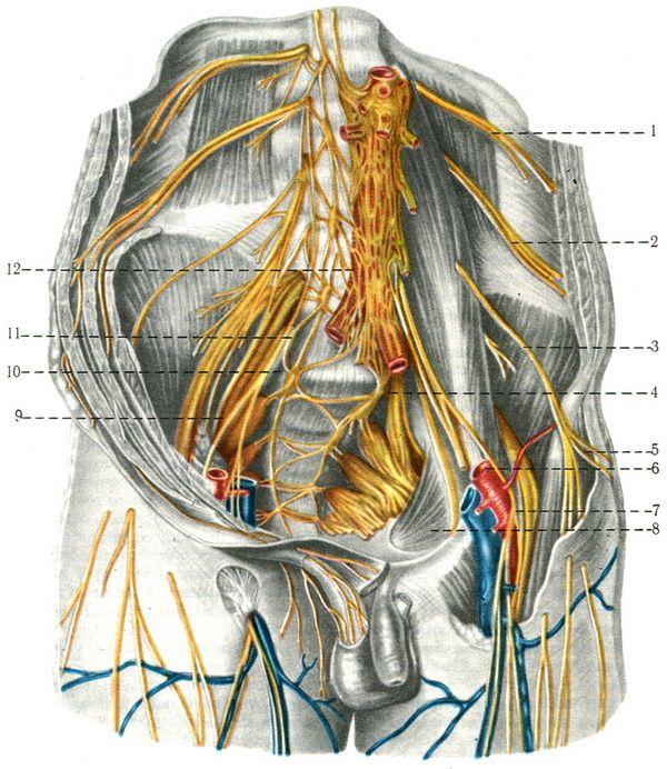 Нервы крестцовые