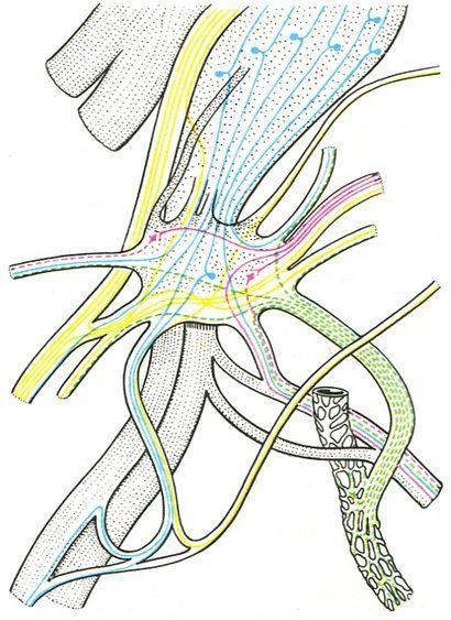 Схема строения ушного узла.