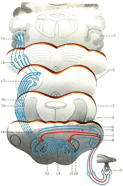 Схема пути слухового