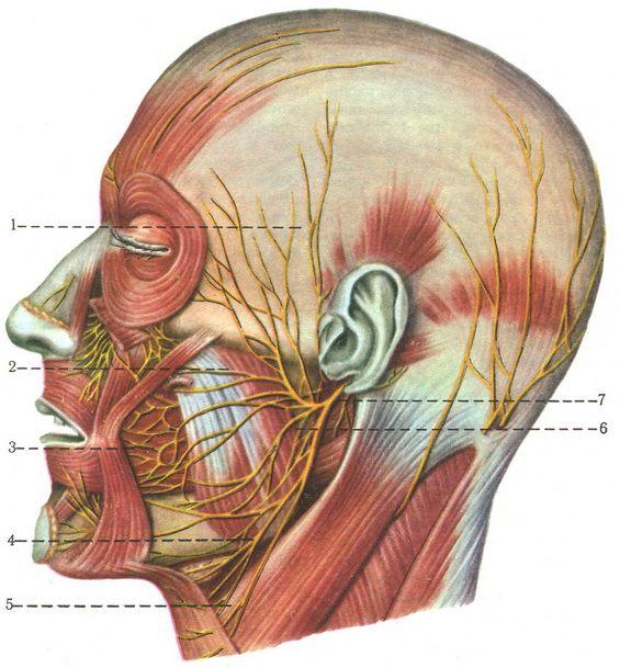 Ветви лицевого нерва.