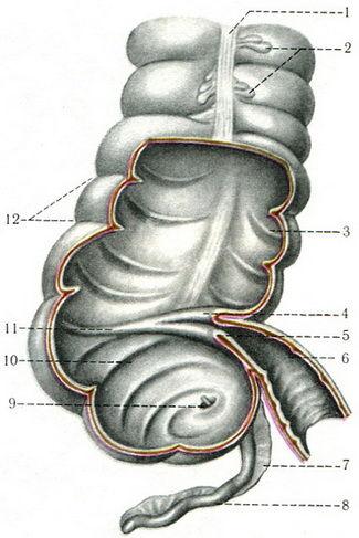 илеоцекальный угол кишечника