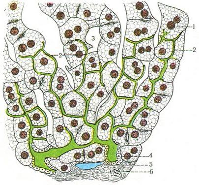 Схема строения желчных