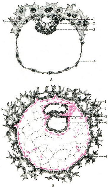 развитие эмбриона схема