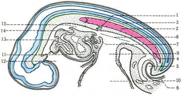 разрез эмбриона человека 4