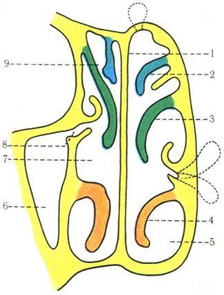 полость носа во фронтальной