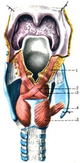 Мышцы гортани сзади.