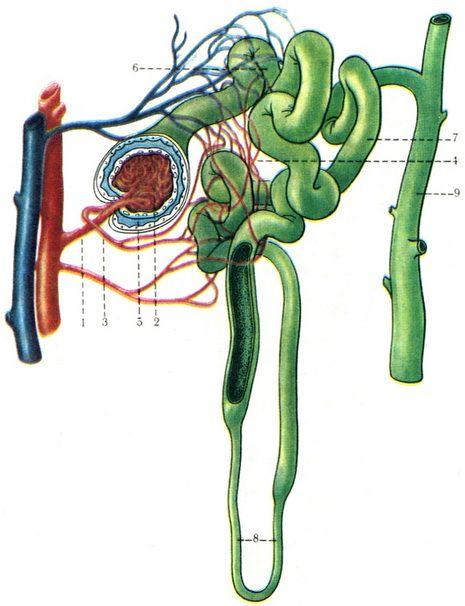 схема строения нефрона