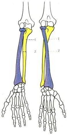 Схема расположения костей