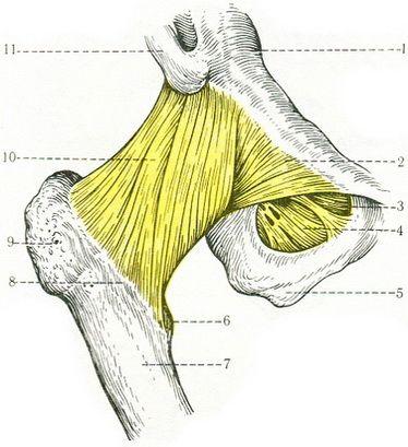 142. Связки тазобедренного сустава (вид спереди).