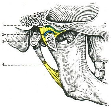 функциональная морфология височно-нижнечелюстного сустава
