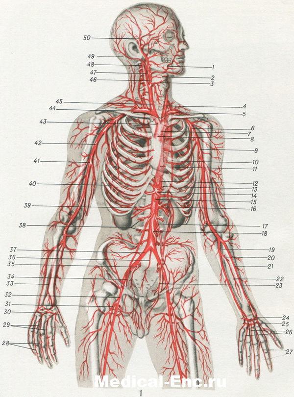 Нервы артерии проникают в
