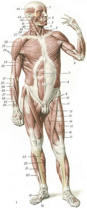 Поверхностный слой мышц