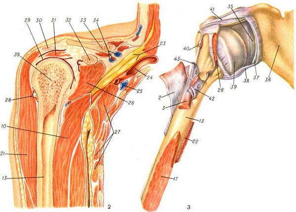 Плечевой сустав (вскрыт) с