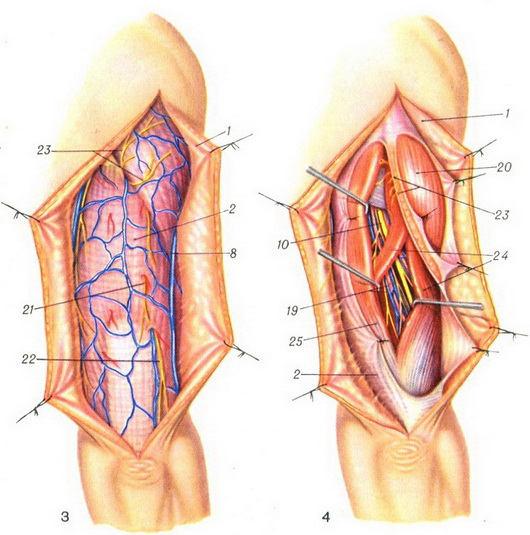 Плечо на схеме человека