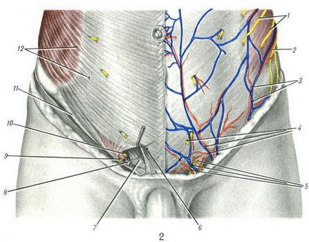 мышцы живота и проходящие