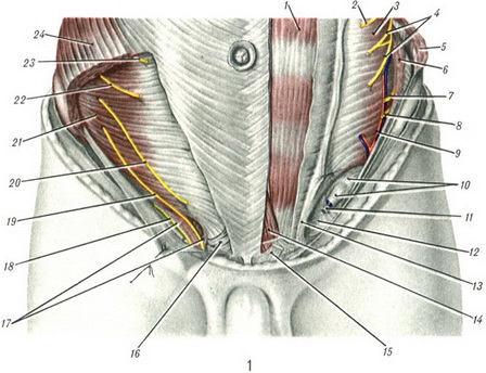 паховая область анатомия