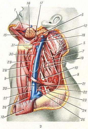 Сосуды и нервы шеи.