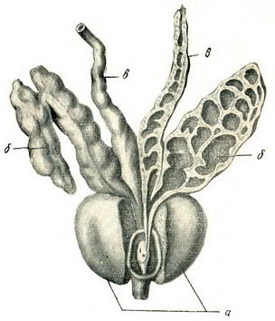 предстательная железа и семенные пузырьки